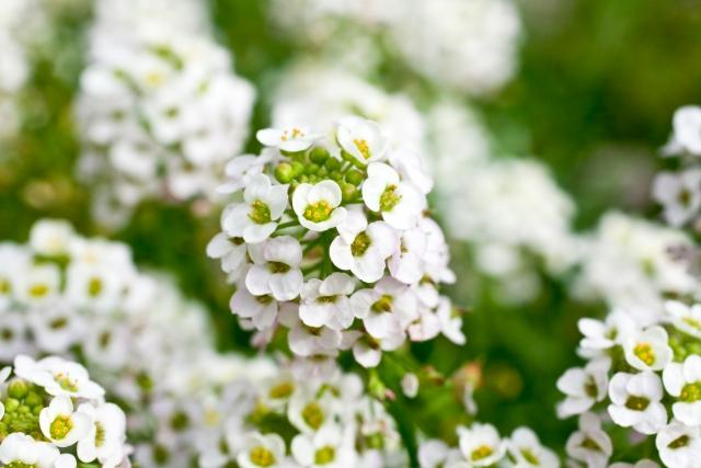 冬の寄せ植えのまとめ役!小花スイートアリッサム5つの魅力と活用法