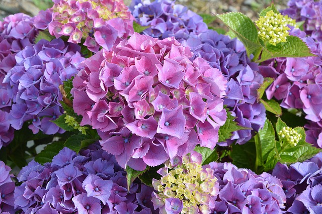 紫陽花の別名は